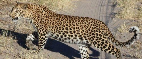 Leopard Web